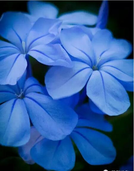 musk blue flower